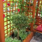 Popínavé-rostliny-na-pergoly-301